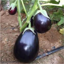 Перфекшен F1 - баклажан,1000 семян, United Genetics (США) фото, цена