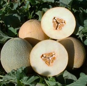 Амалик F1 - дыня, 1000 семян, United Genetics (США)  фото, цена