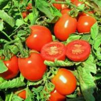 Юджи Ред F1 - томат детерминантный, 5000 семян ДРАЖЕ, United Genetics фото, цена