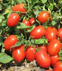 Унирекс F1 - томат детерминанитный, 5000 семян ДРАЖЕ, United Genetics фото, цена