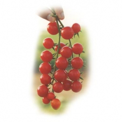 Сомма F1 - томат детерминантный, 1000 семян, Nunhems фото, цена